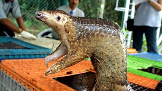 Gabon'da Covid-19 bulaştırdıkları gerekçesiyle pangolin ve yarasanın tüketim ve satışları yasaklandı