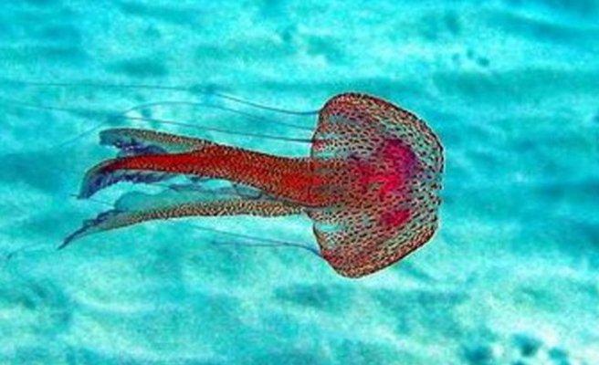 Biyologlar Derneği: Denizanası sorunu yaratıyor